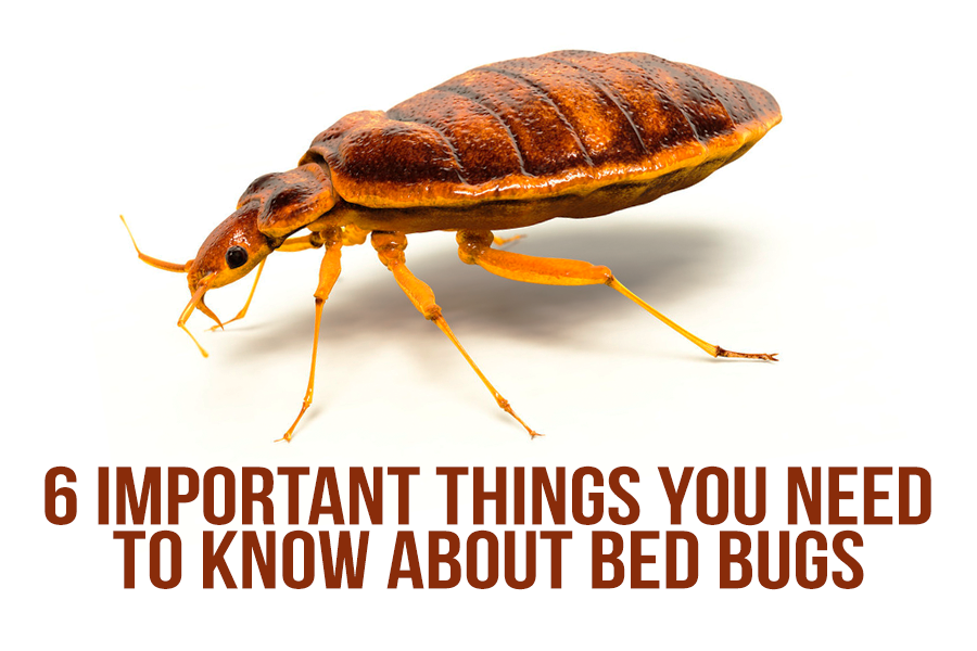 6 Important Things You Need to Know About Bed Bugs